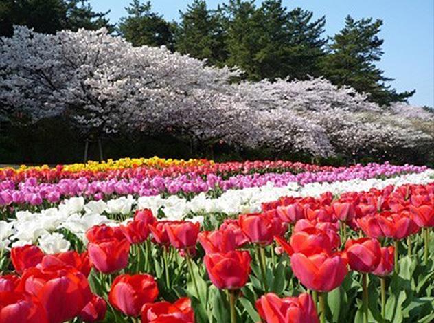 桜とチューリップ_JALAN_150226.jpg